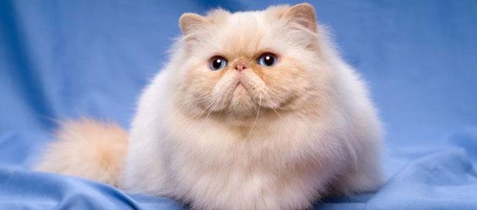Info Terbaru Harga Jual Kucing Persia Saat Ini Daftar Harga Tarif