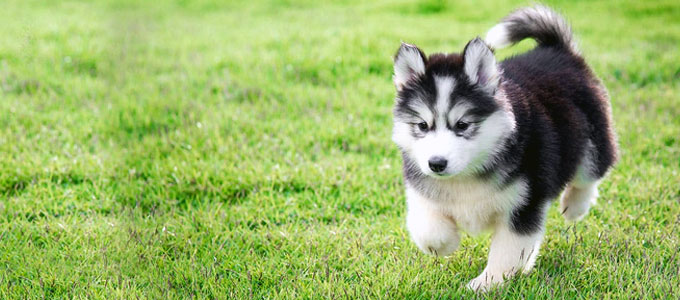Update Harga Anjing Siberian Husky Baby Bayi Daftar Harga Tarif