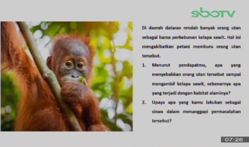 Menurut pendapatmu, apa yang menyebabkan orang utan tersebut sampai mengambil kelapa sawit, sebenarnya apa yang terjadi dengan habitat alaminya?