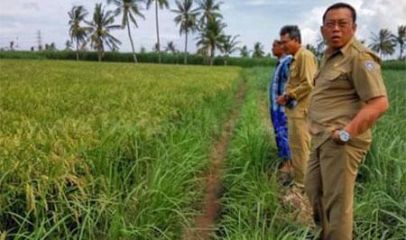 Bupati Situbondo Dadang Wigiarto dengan didampingi Sekretaris Dinas Pertanian, M Farid, saat meninjau hasil tanaman varietas padi MSP, di Desa Curah Kalak, Kecamatan Jangkar. [sawawi]