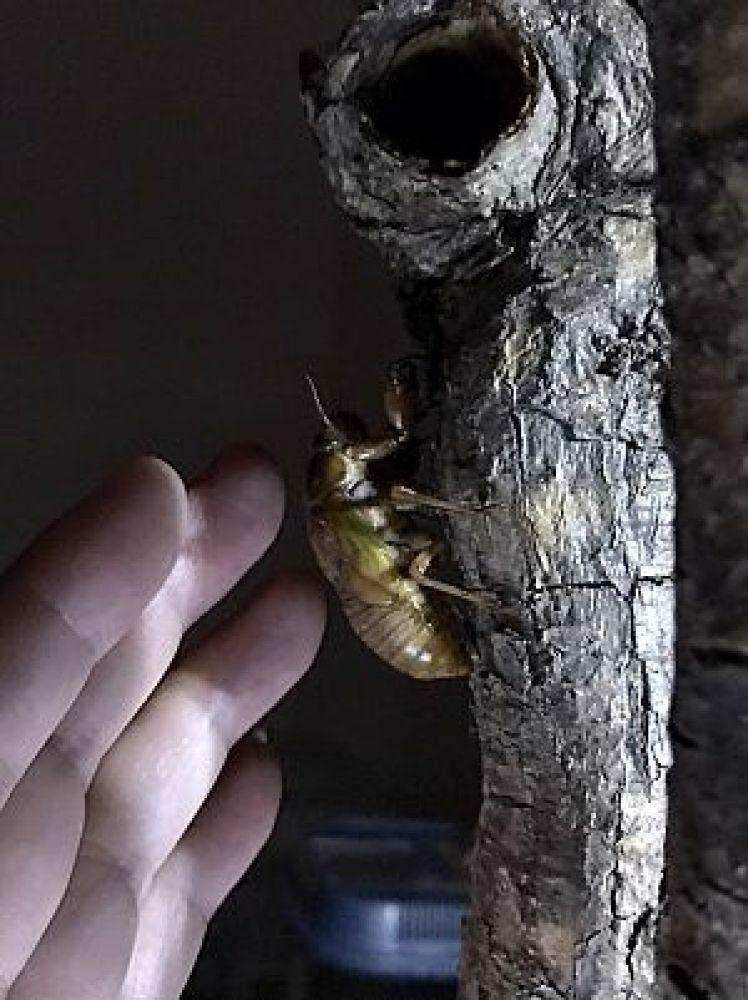 羽化する前のアブラゼミの幼虫