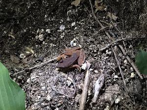 夜の山道で見つけたカジカガエルの写真