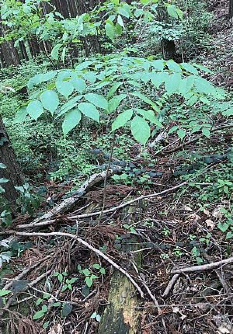ヤマウルシの幼木の写真
