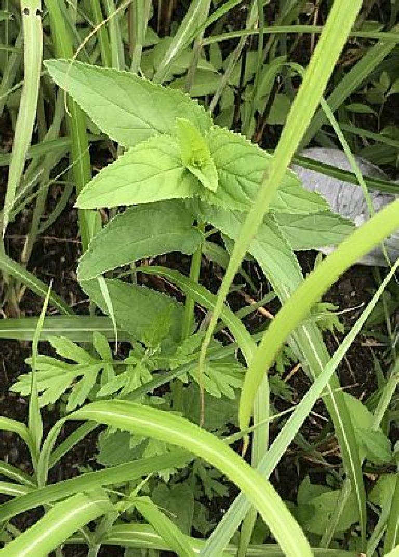 ゴマノハグサ、玄参の写真