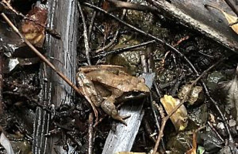 二ホンアカガエルの写真
