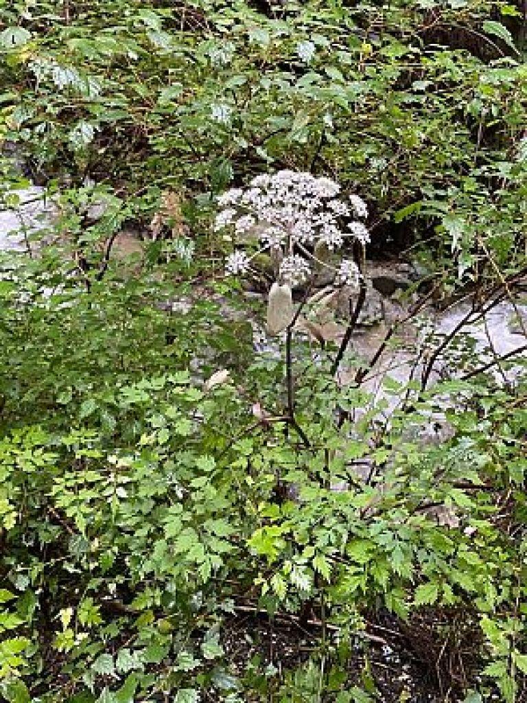 金剛山の野草シラネセンキュウ