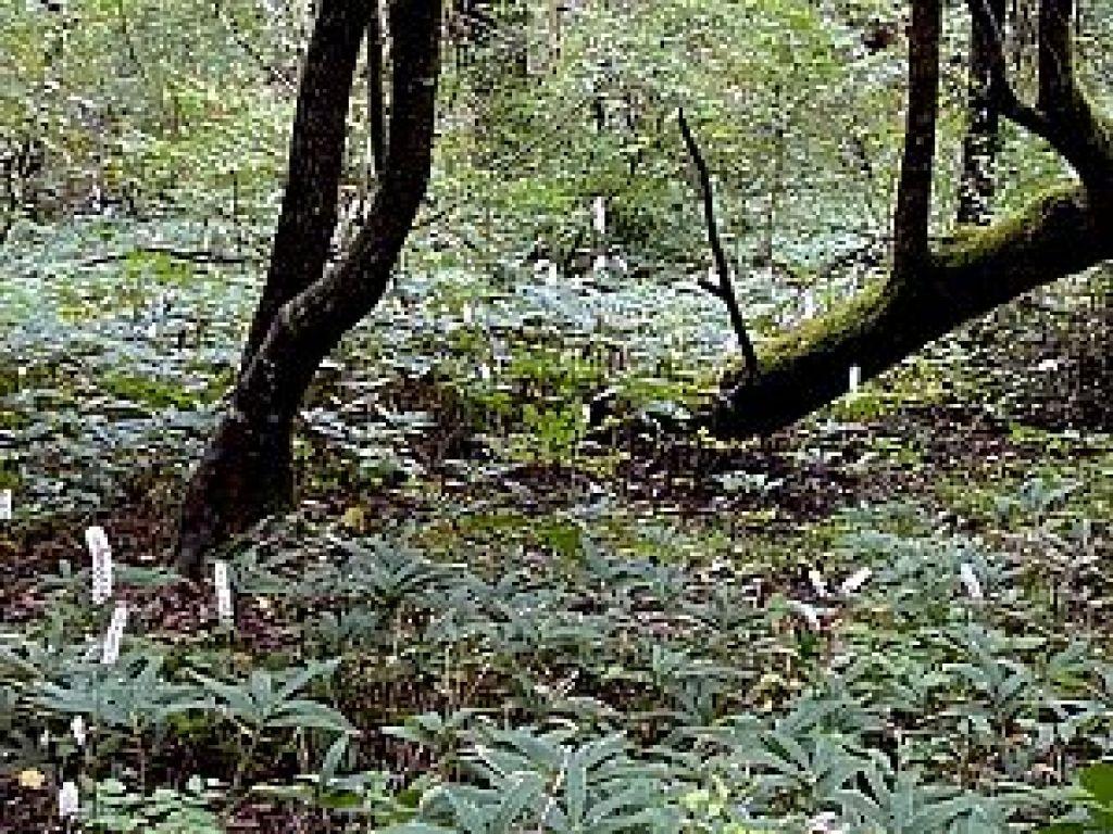 金剛山でみた野草サラシナショウマ