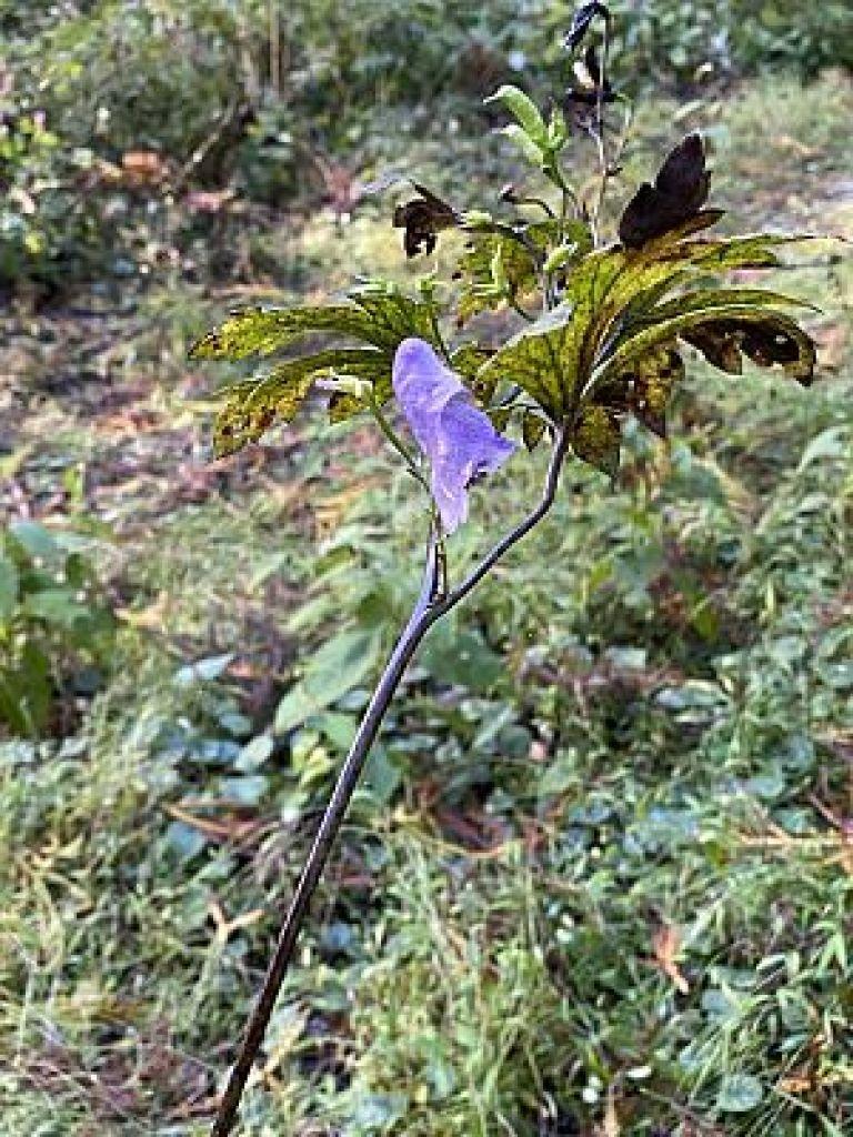 金剛山の野草トリカブト