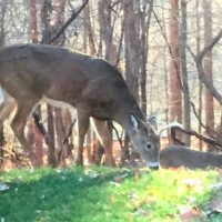 What Da Buck?! Deer Spotted Roaming Harlem Park