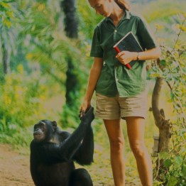 """Gombe, Tanzania - Jane formed a close bond with young Fifi. As the film """"Jane"""" depicts, Jane and the other Gombe researchers later discontinued feeding and touching the wild chimps. The feature documentary JANE will be released in select theaters October 2017. (National Geographic Creative/ Hugo van Lawick)"""