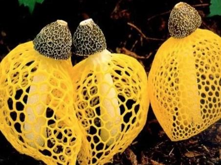 Resultado de imagen para hongo que da orgasmo a las mujeres