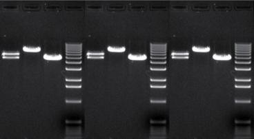 three dna gels