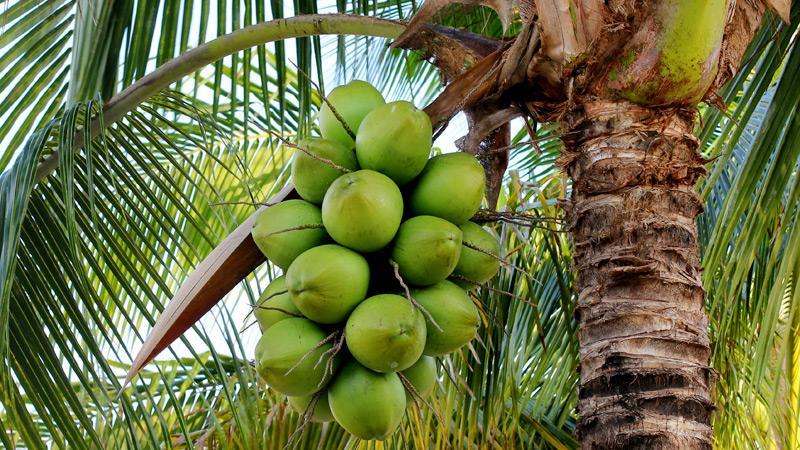 Coconut Tree, source : Medscape