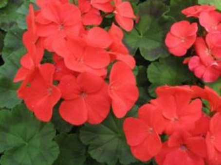 Red_Geranium_Web_Ready-300x225