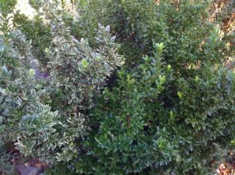 variegated pitt