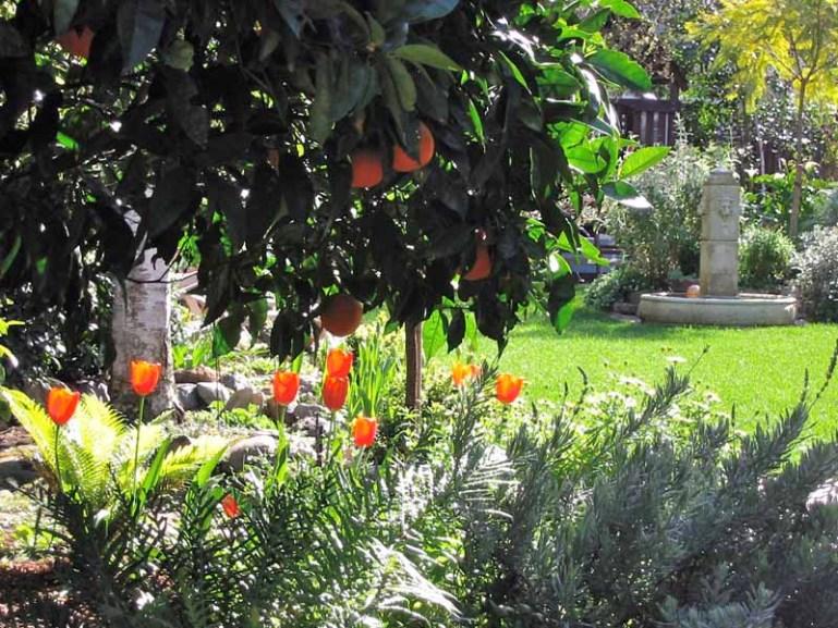 Meet Frankenstein (aka: my \'Washington Navel\' Orange Tree) | Harmony ...