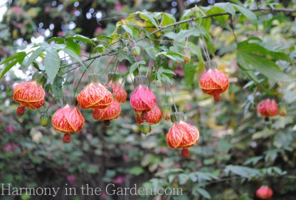 Abutilon 'Tiger Eyes'