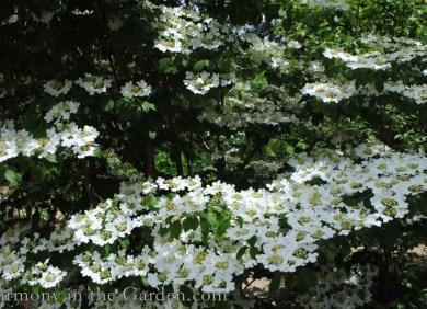 Viburnum plicatum tomentosum 'Summer Snowflake' 2 copy