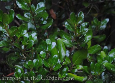 Coprosma 'Roy's Red' - summer