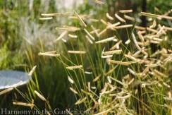 Blue Grama Grass 'Blonde Ambition' copy