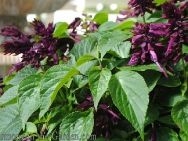 Salvia splendens 'ablazin purple'