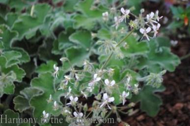 'Peppermint' scented geranium