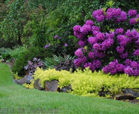 'Red Eye' rhododendron