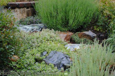 stonecrop groundcover