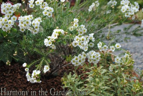 Chamelaucium 'Matilda' and Euphorbia 'Ascot Rainbow'