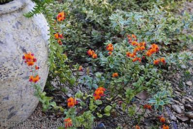 chorizema 'bush flame' copy