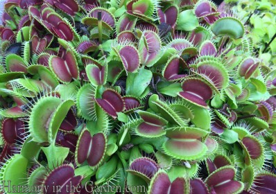 Venus Fly Trap-o-Rama