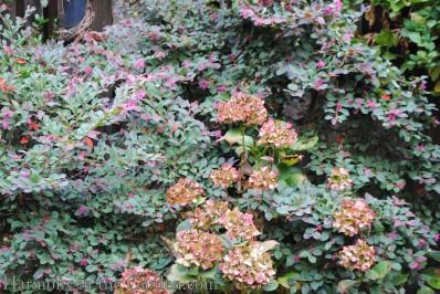 Loropetalum and 'Glowing Embers' hydrangea