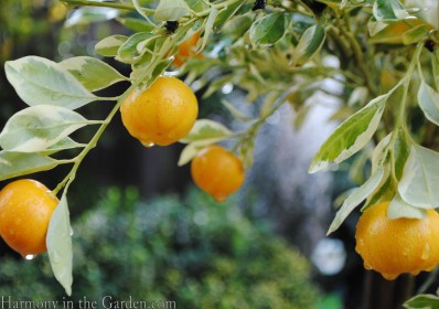 Rain on citrus copy