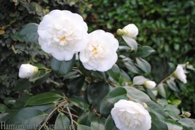 Camellia j.