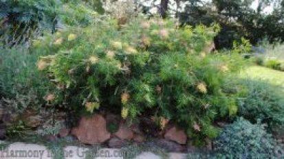Mediterranean Garden Makeover-Northern California-Drought Tolerant Garden Design-Lawn Removal Ideas-grevillea
