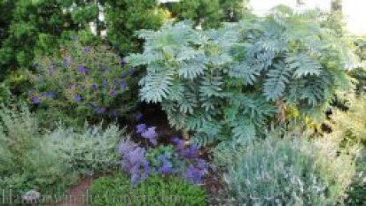 Mediterranean Garden Makeover-Northern California-Drought Tolerant Garden Design-Lawn Removal Ideas-melianthus