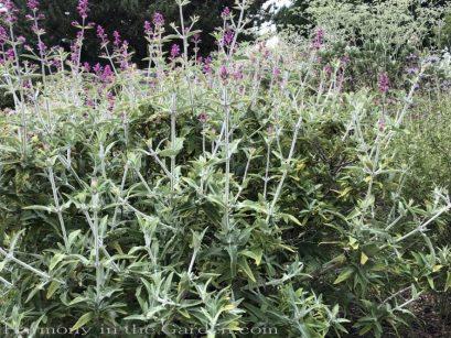 sacramento historic rose garden-california native garden-northern california-pioneer cemetery-salvia canariensis