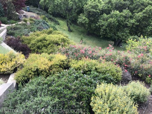Manzanita-Grevillea-Berberis-Phlomis-Tiers-Slopes-Northern California Gardens
