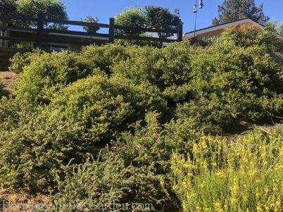 manzanita-bulbine-grevillea-Tiers-Slopes-Northern California Gardens