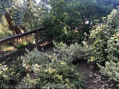 westringea-elaeagnus-Tiers-Slopes-Northern California Gardens
