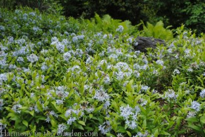 Amsonia tabernaemontana 'Short Stack' (dwarf blue star) copy