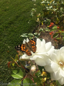 Butterfly - Painted Lady copy