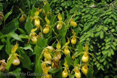 Cypripedium parviflorun var. pubescens (Large yellow lady's slipper) copy