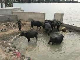 Debs India Blog - 2019 Nov 01 - Water Buffaloes_crop