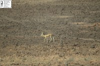 Gazella dorcas neglecta