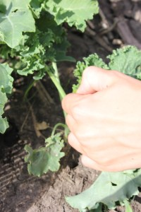 When harvesting Kale you simply snap the leaf off from the stem.