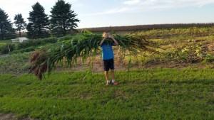 Harvesting the broom corn.