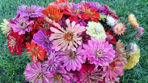 The last of the Zinnias and Strawflowers were picked before the ground was worked. I think we are wrapping everything up at the right time with frost and freeze warnings out this week.