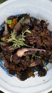 We collected seed from a variety of our flowers to save and use next year to help generate beneficial insects in the garden next year. Pictured here is dried up Marigold seeds. Open up the bunches, and they are full of seeds.