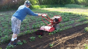 Steve was busy hilling the potatoes this weekend. The potatoes have enjoyed the weather and were already in need of being hilled. Hilling helps the potato growth to occur under ground vs. above ground (thus the greening of the potato). We feel we have a more plentiful harvest when this is done.
